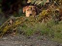 Suņa ceļš mājup -
